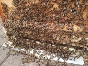 Bienenschwarm in Zanderbeute zwischengelagert