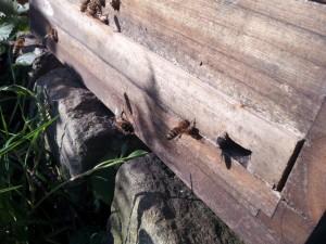 Drastisch enges Flugloch zur Stärkung der Widerstandskraft des Bienenvolkes