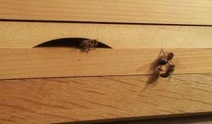 Räuberbiene, Mitte, wird abgedrängt