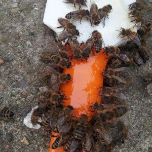 """Bienen beim """"Abschlecken"""" eines Honigschabers"""