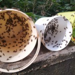Honigeimer mit Räuberbienen