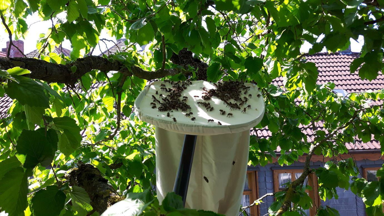 Bienen aus dem Baum geerntet