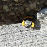 Hummel mit Pollenhöschen an den Hinterbeinen