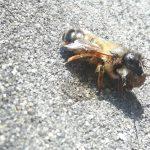 Biene mit Erdteilen zum Nestbau