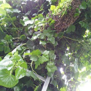 Bienenschwarm in Birnenbaum