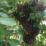 Bienenschwarm Nr. 6 2015 für die Bienenkiste der Rudolf Steiner Schule Bochum