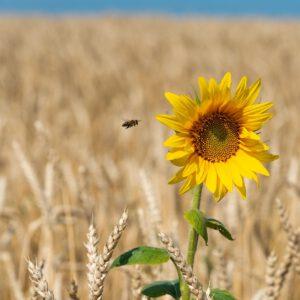 Bienenfutter auf Weizenbasis zu teuer